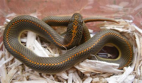 african house snake lrophis wikipedia