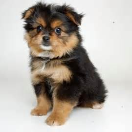 teacup pomeranian orlando porkie pomeranian x yorkie cross animals dogs and puppies yorkie