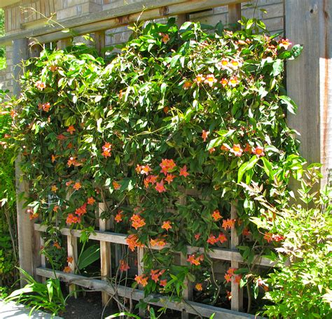 Evergreen Climbing Plants For Trellis vines to cover a multitude of sins part 2 gardendishes