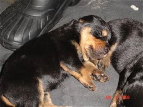 rottweiler breeders in ga rottweiler puppies in