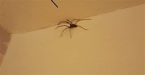 bedroom spiders huge spider found in macclesfield and experts warn more