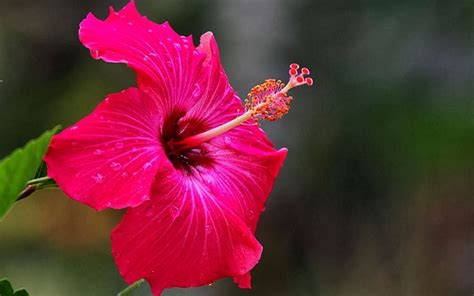 fiore ibiscus ibisco coltivazione hibiscus hibiscus piante da