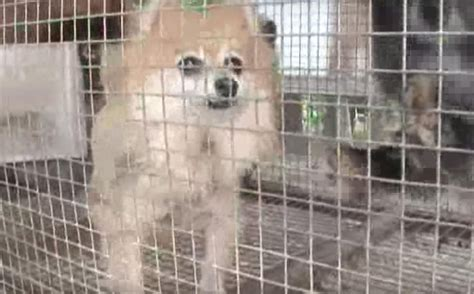 petland puppy mills pet store chain selling puppies from worst conditions imaginable