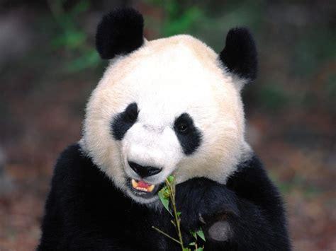 panda china quotes about pandas quotesgram