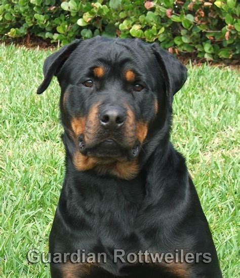 guardian rottweiler guardian rottweilers maye rottweiler puppies miami
