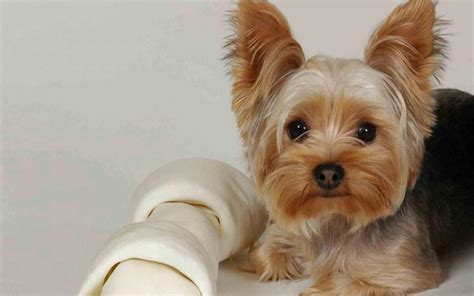 yorkie facts terrier breed 187 information pictures more