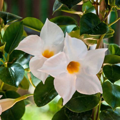 sundaville fiore dipladenia sundaville 174 blanc mandevilla plantes et jardins