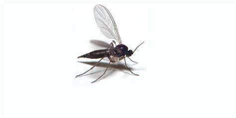 tiny gnats in house stop fungus gnats on marijuana plants now