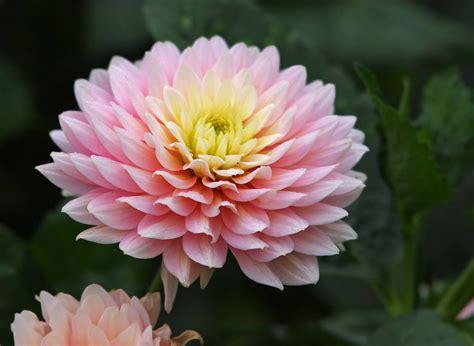 image gallery nasa chrysanthemum air chrysanthemum facts and health benefits