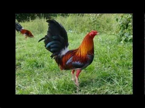 gallos de peleas de vicente fernndez pelea de gallos vicente fern 225 ndez en vivo palenque