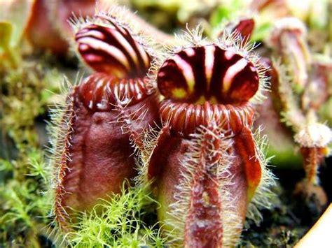 cephalotus follicularis cm pot evergreens turn