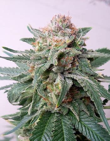 critical mass interior auto purple skunk mass feminized marijuana seeds by