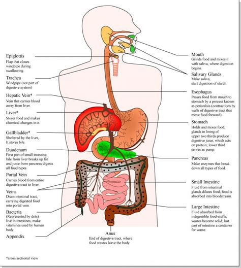 diagram of human organs in the human anatomy organs diagram picture of