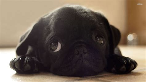 pug breeders vancouver 51 best black pugs images on black pug puppies pug and baby pets