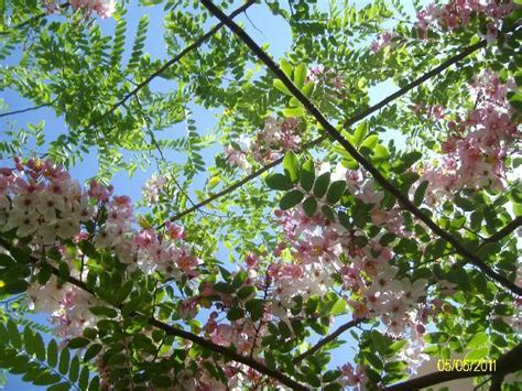alberi fioriti alberi fioriti foto di stella di mare resort spa