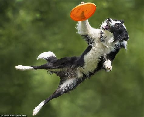best frisbee photos of border collies up to six the ground as they catch frisbees daily