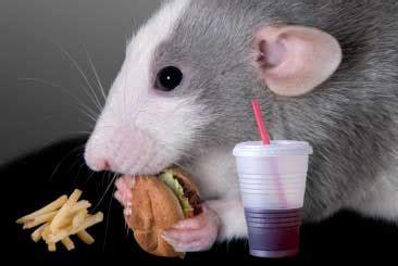 dc rats eating bodies   morgue