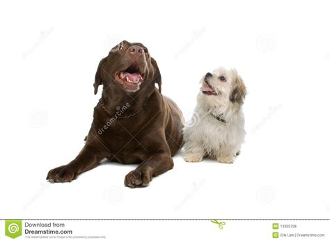shih tzu x labrador chocolate labrador and a shih tzu stock photo image 13355708