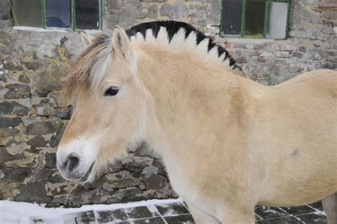 fjord mane designs 10 strange and beautiful horse breeds