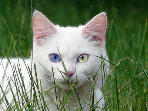White Cat With Odd Eyes | odd eyed cat pixdaus