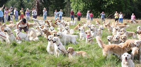 golden retriever pups for sale scotland the golden retriever festival scotland dogs our friends photo