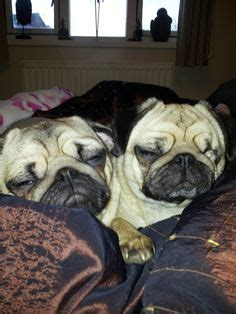 cuddle pugs 1000 images about pugs for jodi someday on pug baby pugs and pug puppies