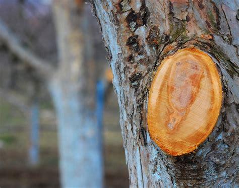 kirschlorbeer schneiden herbst apfelbaum schneiden im herbst 187 das sollten sie wissen