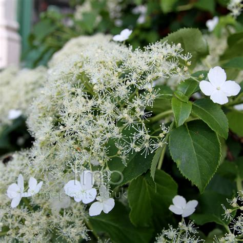 planting climbing hydrangea plant pictures hydrangea petiolaris climbing hydrangea