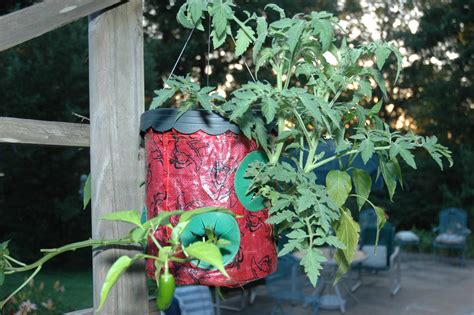 Topsy Turvy Pepper Planter by Jalapena Pepper Plant In A Topsy Turvy Planter After Three