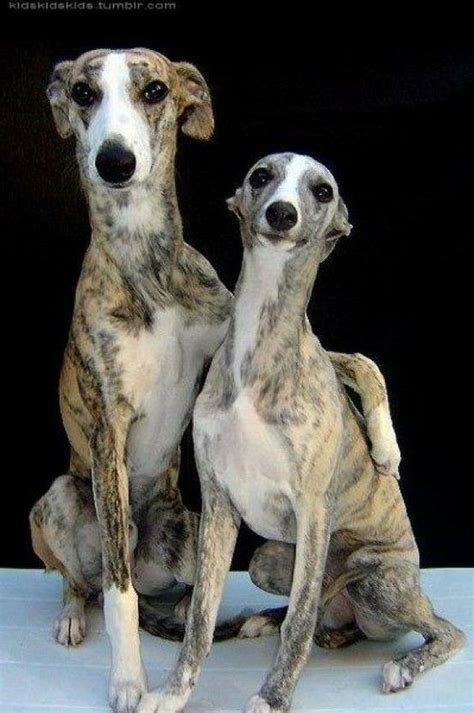 Ridiculously Cool Website Whippet Grey by Italian Greyhounds Ridiculously