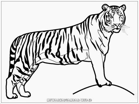 wallpaper harimau hitam mewarnai gambar harimau mewarnai gambar