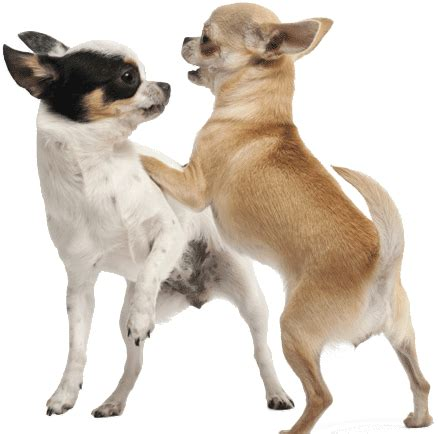 introducing new puppy to introducing a new to your chihuahua chihuahua tips