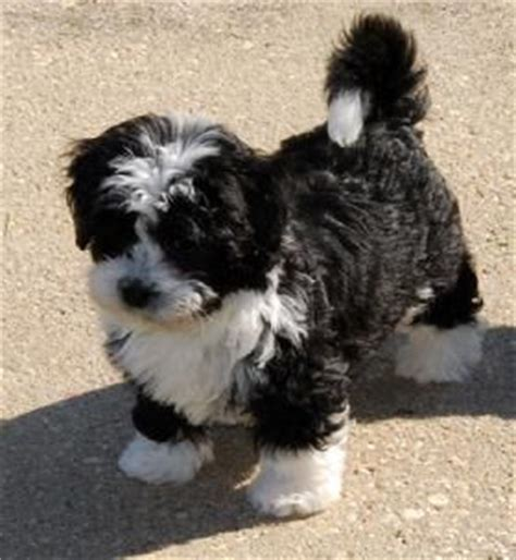 cuban havanese puppies 17 best ideas about havanese puppies on dogs cavapoo puppies and