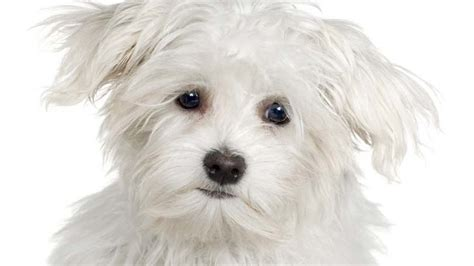 most hypoallergenic dogs hypoallergenic breed and photos fallinpets