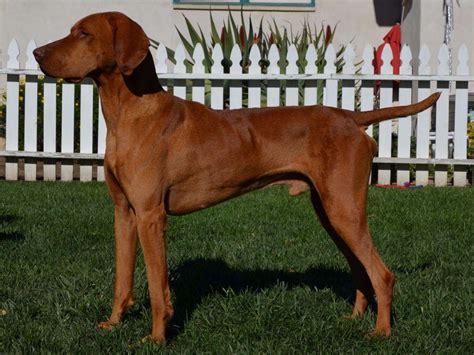 vizsla puppies for sale california the vizsla pictures 943150 breeds picture