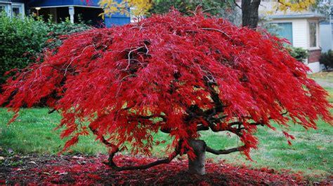 bloodgood japanese maple japanese ornamental evergreen