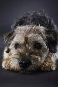 grooming and thinning a border terrier pets