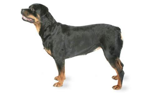 rottweiler characteristics the breed section dogtime