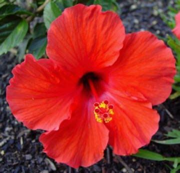 nomi di fiori in francese hibiscus repertorio francese deva fiori per l anima
