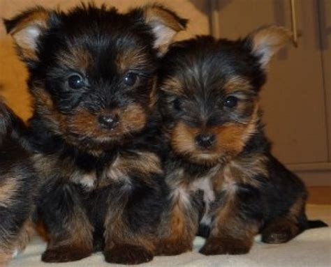 yorkie coats offer adorable yorkie puppies males and females beautiful coats and spunky