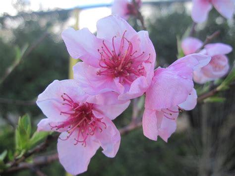 immagini fiori di pesco fiori di pesco foto immagini piante fiori e funghi