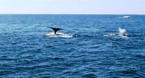 whale season cape cod whale by boat from cape cod massachusetts