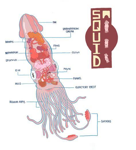 squid labeled diagram squid diagram by mrdynamite on deviantart
