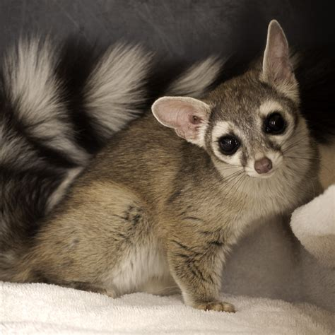 ring tailed cat adorable animals raccoons animal and cat