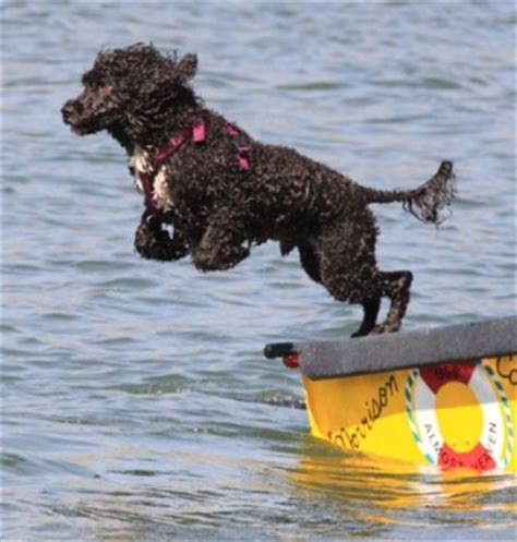 portuguese water dog breed information history health
