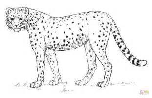 cheetah color cheetah coloring page free printable coloring pages