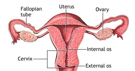 whats cervix   early pregnancy  health advisor