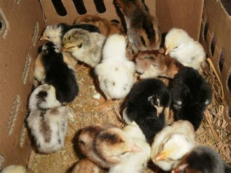 Tempat Kulakan Pakan Burung Di Jogja panduan ternak ayam kung bagi pemula jogja farm