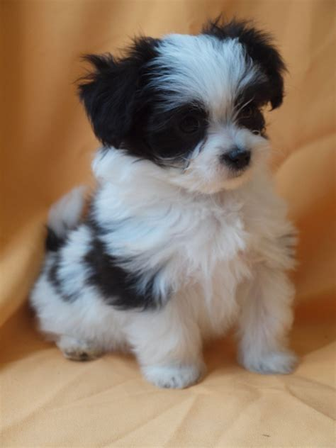 maltese mix puppies for sale papillon puppies newhairstylesformen2014