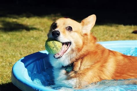 corgi working out for summer 17 best images about corgi pool on